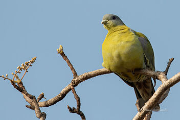 A Chubby Yellow Footed Green Pigeon - image #477829 gratis