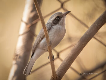 A Playful Woodshrike enjoying the company of its friends - image #477849 gratis