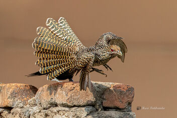 An Asian Koel Female taking flight - image gratuit #478679