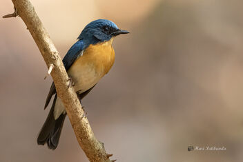 A Tickell's Blue Flycatcher cautiously watching the action - image gratuit #478699