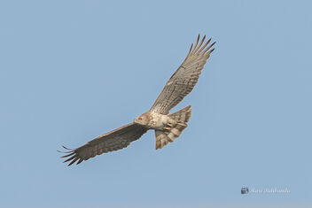 A Short Toed Snake Eagle soaring in the sky - image gratuit #478719