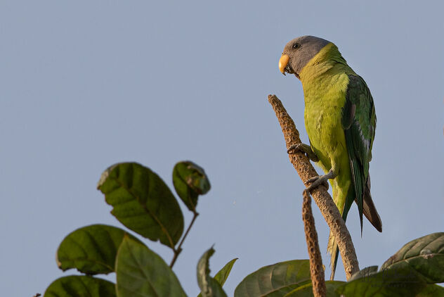 A Plum Headed Parakeet enjoying the cool breeze - Kostenloses image #479909